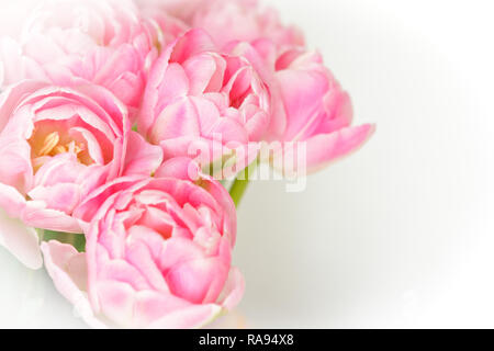 Bunch of tulip flowers in shades of pink against white, nostalgic and romantic background template for florists or greeting cards - Stock Photo