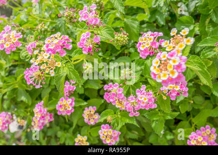 Lantana camara shrub with flowers in Nisaki on Corfu, Greece. - Stock Photo