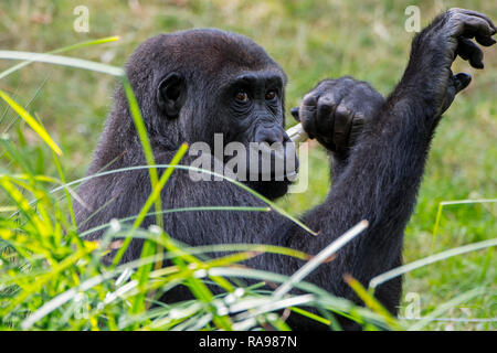 Close up portrait of young western lowland gorilla (Gorilla gorilla gorilla) native to central Africa - Stock Photo