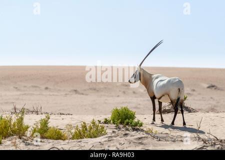 Single Arabian Oryx seen in the Desert of Dubai Emirates, United Arab Emirates, Middle East