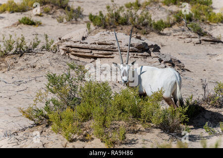 Single Arabian Oryx seen in the bushes of the Desert of Dubai Emirates, United Arab Emirates, Middle East
