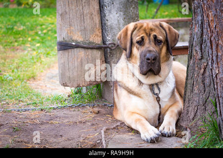 Big red dog breed Alabai lies in the garden next to a tree fastened with a chain. - Stock Photo
