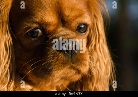 A closeup picture of the face of a cavalier king Charles spaniel dog in the setting sun light - Stock Photo