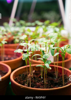 Corriander growing indoors under a grow light to provide fresh hebs in the winter. - Stock Photo