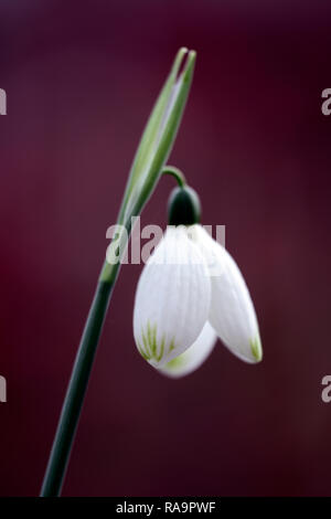Galanthus Caucasicus Green Tip,Snowdrop, flower,christmas,early,snowdrop,white,flowers,flower,bulbs,snowdrops,spring,flowering,collectors,rare,galanto - Stock Photo