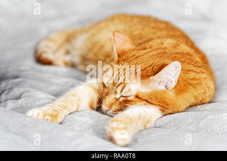 Closeup portrait of a red ginger cat sleeping on a bed stretching his front paws. Shallow focus.