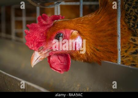 Domestic chicken layer in the farmhouse