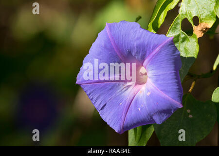 Morning glory (Ipomoea) in bloom, Everglades National Park, Florida - Stock Photo