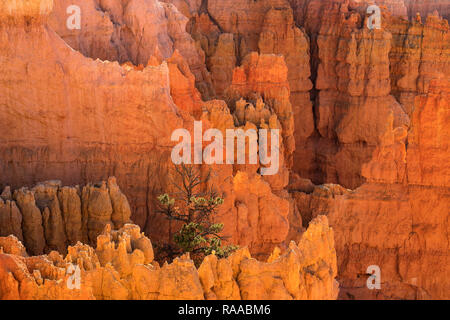 Bryce Canyon National Park, Utah, USA. View over the Bryce Amphitheatre from the Rim Trail, showing Hoodoo rock formations and single Pine tree. - Stock Photo