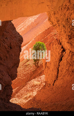 View through limestone arch to a Pinus flexilis - Limber Pine tree - growing on rocks in Bryce Canyon National Park, Utah, USA - Stock Photo