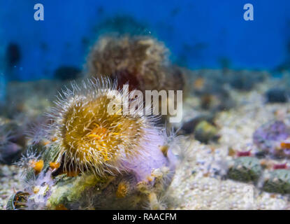 closeup of a plumose sea anemone with yellow and white colors, marine life background - Stock Photo