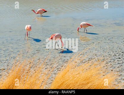 Four James Flamingo (Phoenicoparrus jamesi) feeding on microscopic algae in Hedionda Lagoon in the altiplano of Bolivia near the Salar de Uyuni. - Stock Photo