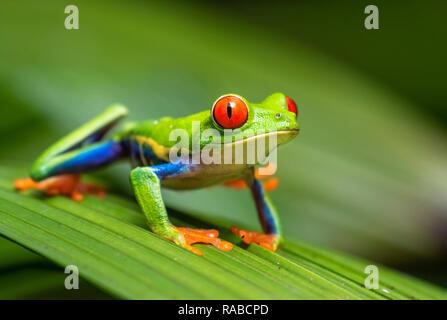 Red-eyed tree frog (Agalychnis callidryas) portrait, Alajuela, Costa Rica.