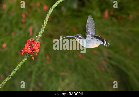 Green hermit hummingbird (Phaethornis guy) hovering in front of a flower, Alajuela, Costa Rica. - Stock Photo