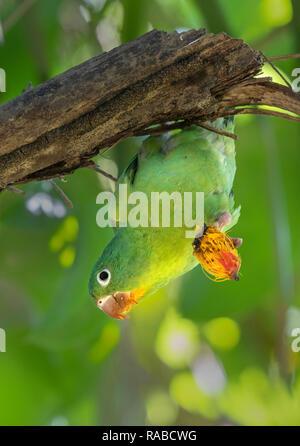 Orange-chinned, or Tovi parakeet (Brotogeris jugularis) eats a fruit hanging upside down on a branch, Puntarenas, Costa Rica - Stock Photo