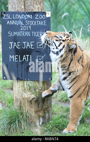London, UK, 3rd Jan 2019. Female Melati. The resident Sumatran tiger couple Jae Jae (male) and Melati (female) at ZSL's Tiger Territory. Zookeepers ready their clipboards, calculators and cameras to count the animals at ZSL London Zoo's annual stocktake of more than 700 different species. Keepers face the challenging task of tallying up every mammal, bird, reptile, fish and invertebrate at the zoo. Credit: Imageplotter News and Sports/Alamy Live News - Stock Photo