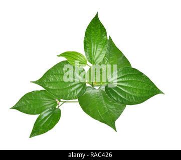 Wildbetal Leafbush  on white background - Stock Photo
