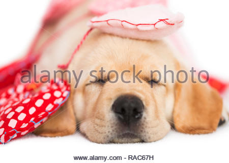 Yellow Labrador Puppy wrapped up in Valentines Day heart garland sleeping, white background. - Stock Photo