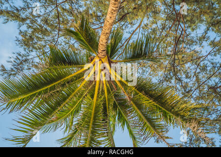 Plants on a tropical beach - casuarin and palm tree - Stock Photo