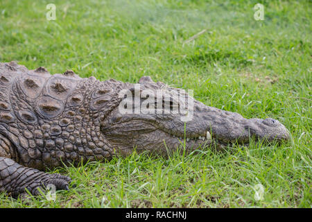 Nile or freshwater crocodile close up face and head shot profile in the grass South Africa - Stock Photo