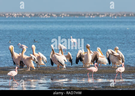 Pink-backed pelican and rosy flamingo colony in Walvis bay, Namibia safari wildlife - Stock Photo