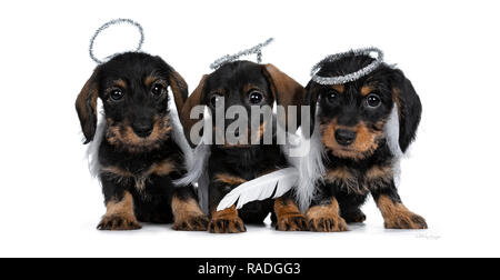 Row of three black with brown adorable wirehair mini Dachshund dog puppies, wearing angel costumes from white wings and silver halo. Looking naughty a - Stock Photo
