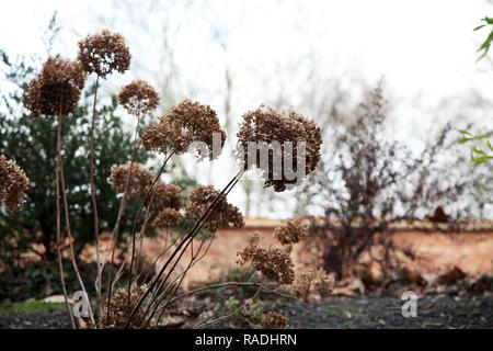 Dead hydrangea flowers in wintry setting - Stock Photo