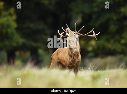 Red deer stag bellowing during mating season in autumn, UK. - Stock Photo
