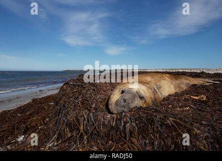 Close-up of a Southern elephant seal (Mirounga leonina) lying in the pile of sea weeds on the coastal are of Falkland islands. - Stock Photo