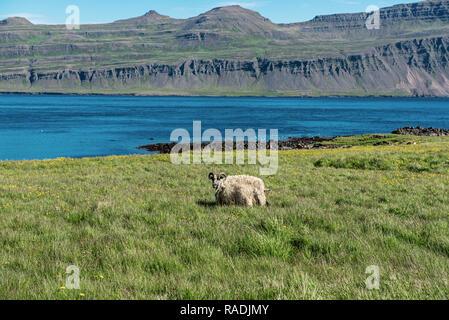 Icelandic single sheep - Stock Photo