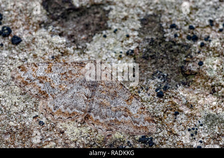 This is the Mottled Beauty, Alcis repandata, a geometrid moth known as a geometer moths (loopers) due to the larvae inching along in a looping motion. - Stock Photo