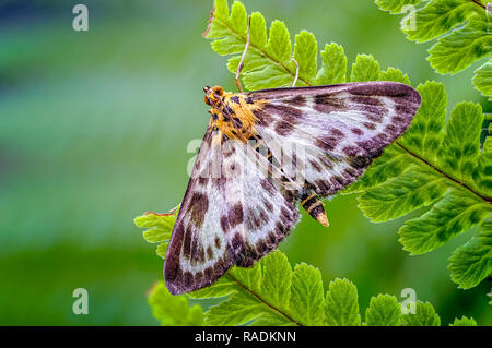 This Small Magpie moth (Anania hortulata) resting on a fern leaflet is actually a micro moth rather that a macro moth. - Stock Photo