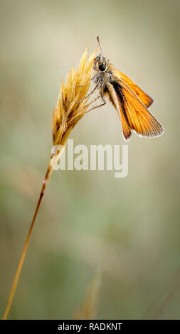 This is the Small Skipper Butterfly (Thymelicus sylvestris) resting on a grass inflorescence. - Stock Photo