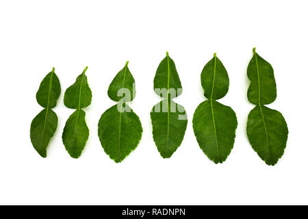 kaffir lime leaves isolated on white background. - Stock Photo
