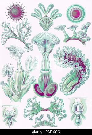 Illustration shows aquatic invertebrates. Bryozoa. - Moostiere, 1 print : color lithograph , sheet 36 x 26 cm., 1904 reimagined - Stock Photo