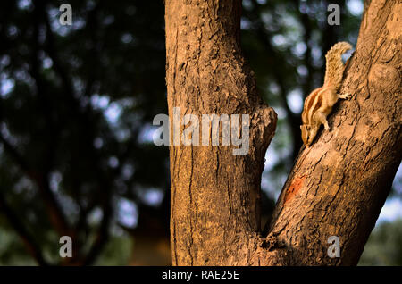 Curious squirrel peeking down from a tree in a park in Delhi, India - Stock Photo