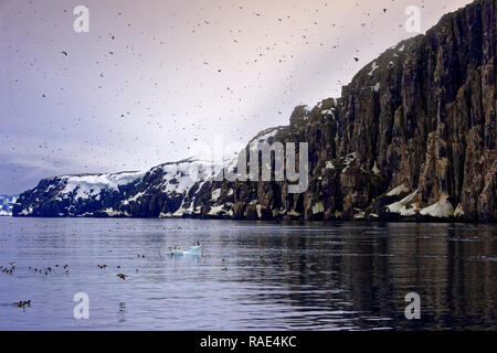 Thick-billed Murres (Uria lomvia) (Brunnich's guillemots) colony, Alkefjellet Hinlopen Strait, Svalbard archipelago, Arctic, Norway, Europe - Stock Photo
