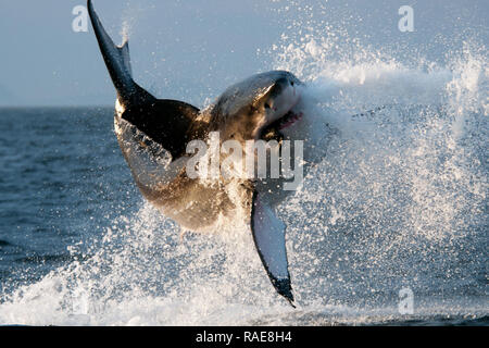 Breach. DRAMATIC images capture a huge 14 foot-long Great White shark hurtling through the air after it breached the water in search of a tasty meal.  - Stock Photo