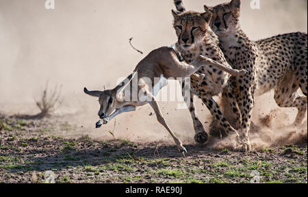INCREDIBLE images showcase the moment a skilled photographer captured a dramatic cheetah kill whilst on safari in South Africa. The action-packed phot - Stock Photo