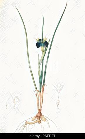 Iris tuberosa, Hermodactylus tuberosus, Snake's head Iris, Widow Iris, Redouté, Pierre Joseph, 1759-1840, les reimagined - Stock Photo