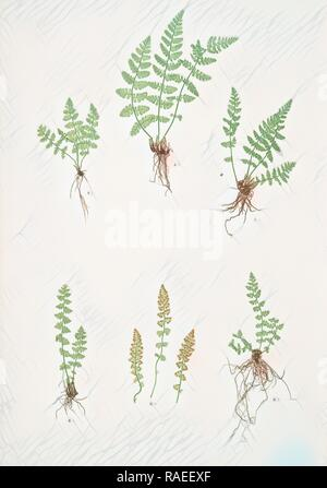A. Woodsia ilvensis. B. W. alpina. The oblong woodsia - The Alpine, or Deltoid woodsia, Bradbury, Henry Riley (1821- reimagined - Stock Photo