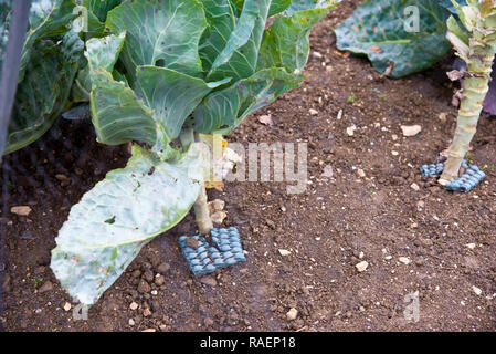 Cabbages beeing protected from cabbage root fly with squares of carpet underlay placed around the stem of the plant - Stock Photo