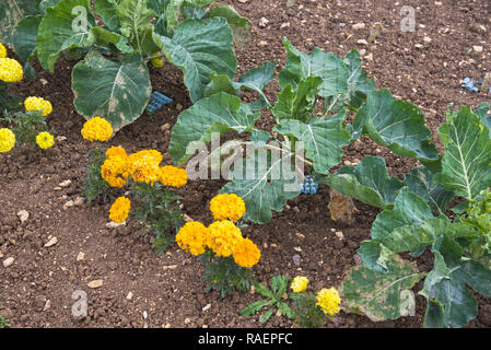 Organically growing cabbages protected by netting and marrigolds - Stock Photo