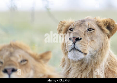 Male lion (Panthera leo) portrait, behind the brother, Ngorongoro conservation area, Tanzania. - Stock Photo