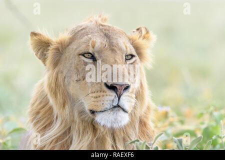 Male lion (Panthera leo) portrait, Ngorongoro conservation area, Tanzania. - Stock Photo