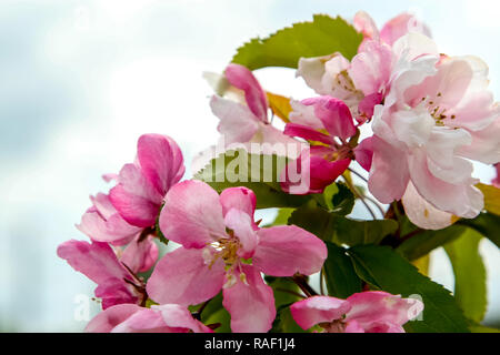Blooming apple tree in spring time. Blossoming apple flowers. Flowering apple tree in Latvia. Apple tree flowers in spring season on background of blu - Stock Photo