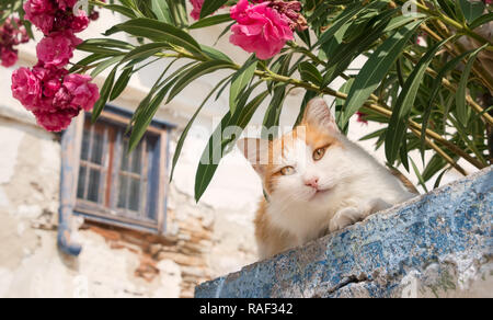 Cute orange and white cat peering down from a wall with Oleander flowers in a greek village, Cyclades, Greece - Stock Photo