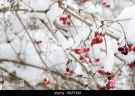 Red bunches of ripe viburnum covered with snow on a winter day - Stock Photo