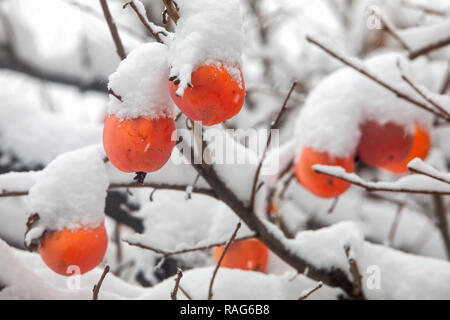 Fruits of Date plum tree or Diospyros lotus with the first snow - Stock Photo