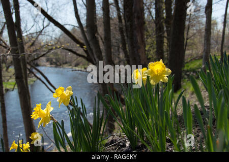 Daffodils in spring along the river - Stock Photo